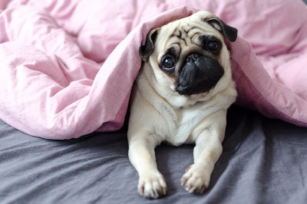 A pug in bed with confused or sad / cute face.
