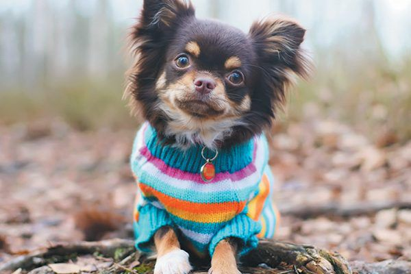 Chihuahua in sweater