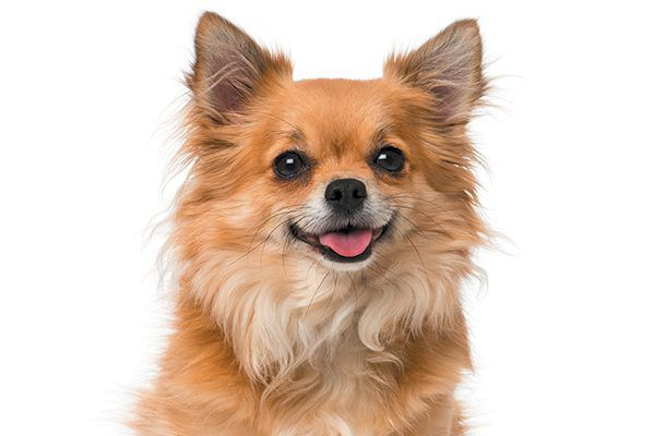 The Chihuahua dog requires requires extensive socialization and dog school classes. Photography ©GlobalP | Getty Images.