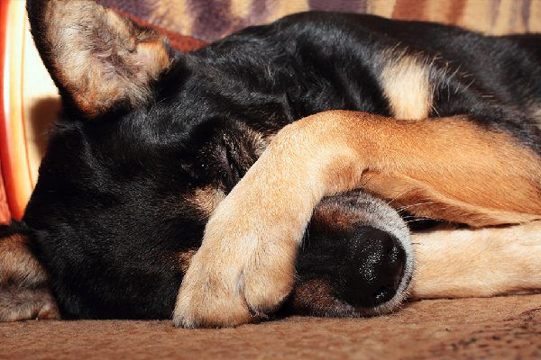 A dog covering his nose maybe asleep or sick.