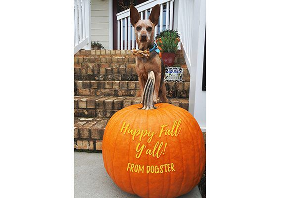 Miniature Pinscher mixed breed dog Justice poses with a pumpkin ready for Thanksgiving.