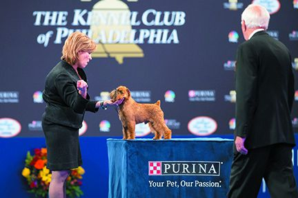 "The champion Brussels Griffon ""Newton"" is ready to be examined by the judge as handler Susan DePew looks on during competition at The National Dog Show Presented by Purina in 2017. Representing the Toy Group, Newton won Best In Show."