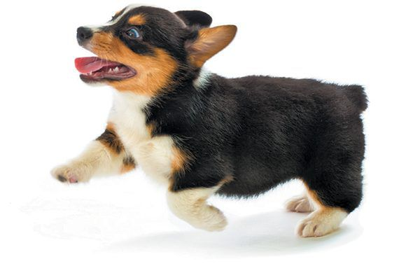 It's no surprise if you find your puppy running all over the house. Photography ©YinYang | Getty Images.