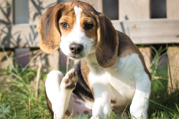 A beagle dog itching in the grass.