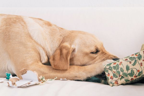 A dog unwrapping or biting a gift.