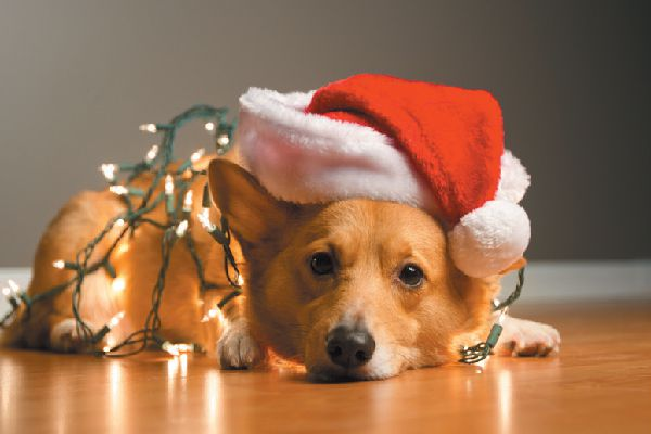 Dog in Santa hat wrapped up in Christmas lights.