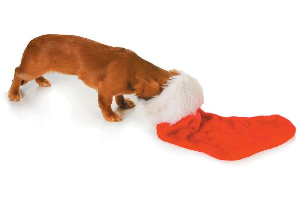 Dog looking in holiday stocking.