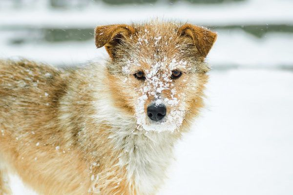 A wintry dog with snow on his face.