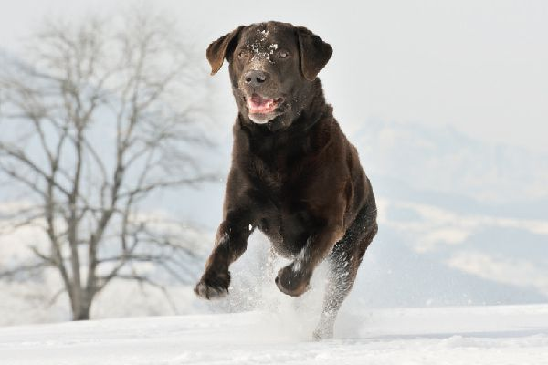 A chocolate lab playing in the snow.