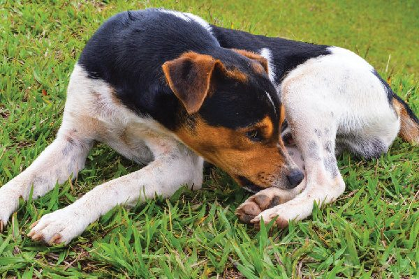 A dog on the grass chewing his feet and paws.