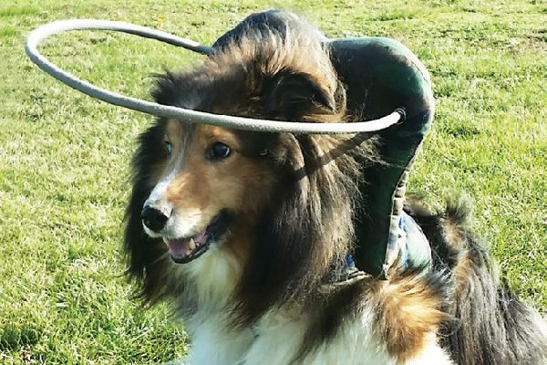 Muffin's Halo helps keep sight-impaired dogs from bumping into things.