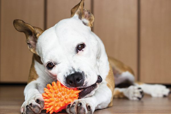 A dog chewing on a toy.