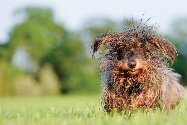 A dog running in grass with matted hair.
