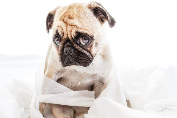 A sad or embarrassed dog surrounded by toilet paper.