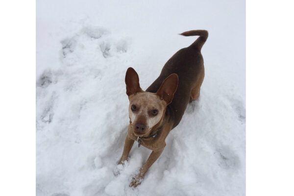A dog playing in the snow in March.