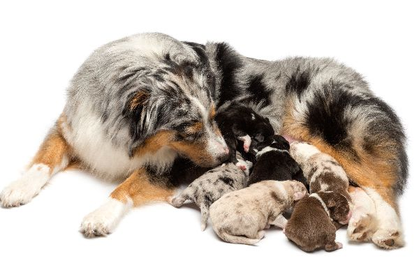 Puppies nursing from a mother dog.