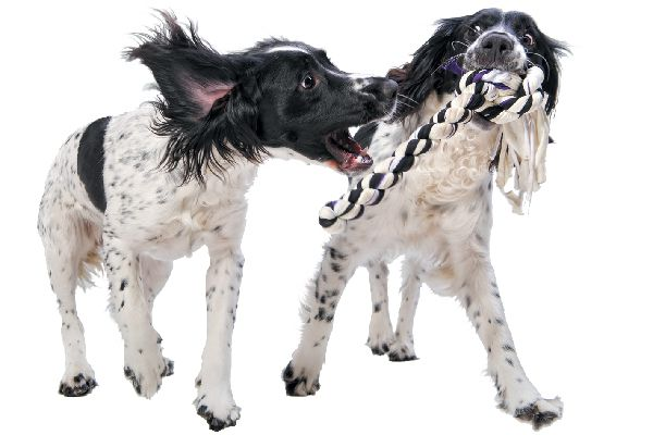 Two dogs playing tug of war together.