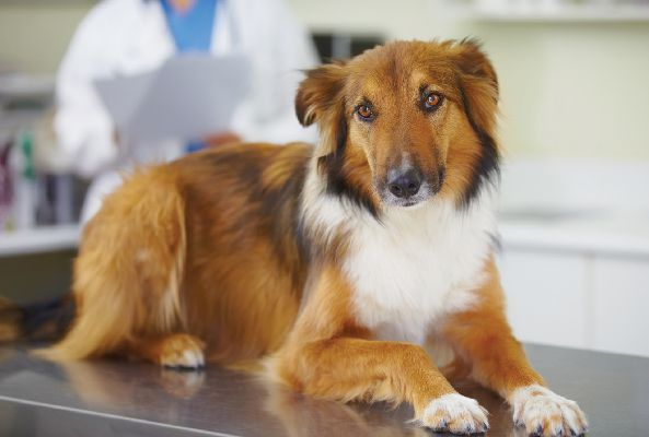 A concerned dog on a vet exam table.