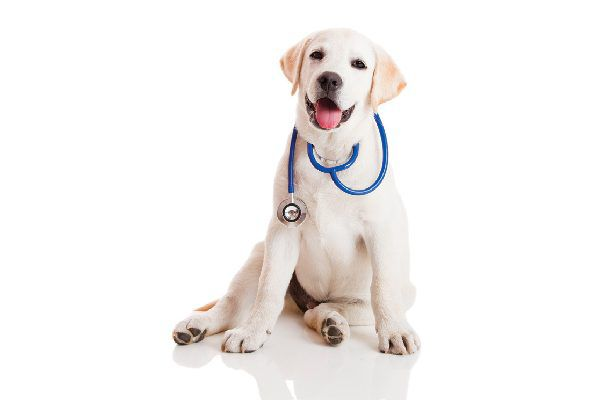Puppy with stethoscope.