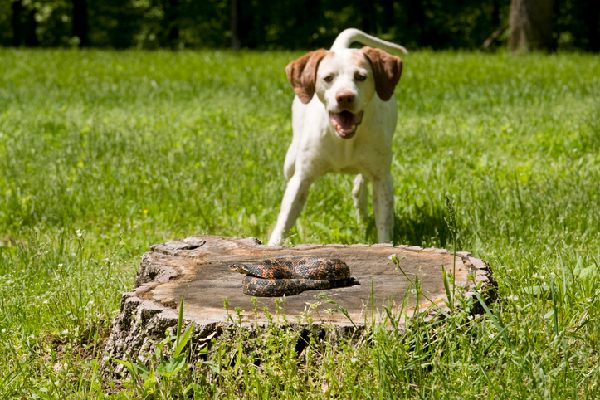 A dog barking at a snake on a log.