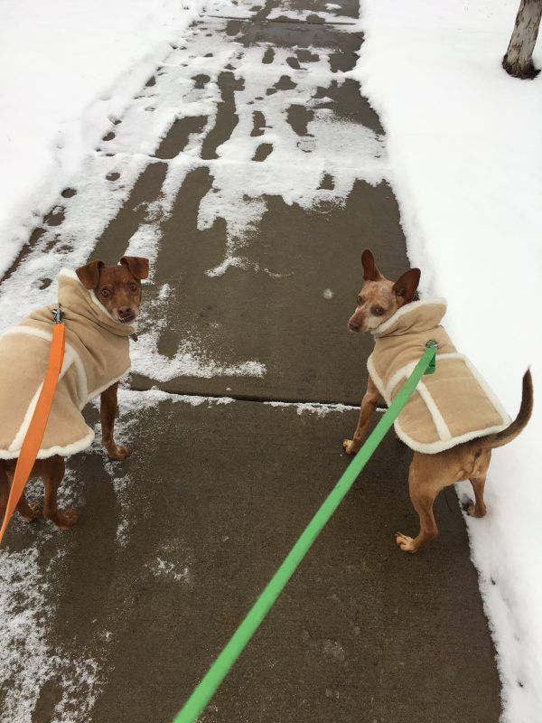 Tampa and Justice in winter coats taken by Dogster Executive Editor Melissa Kauffman