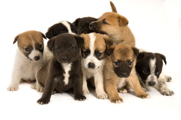 A litter or a group of puppies.