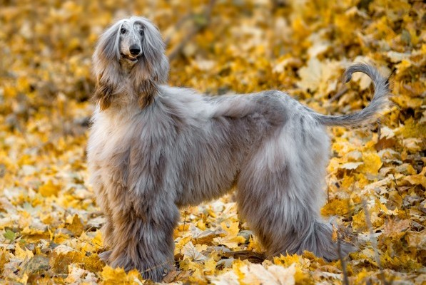 Afghan Hound. dumbest dog breeds