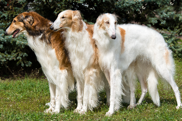 Borzoi. dumbest dog breeds