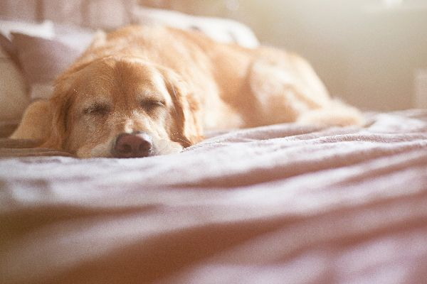Why is your dog vomiting white foam? A sick or sleeping Retriever dog, lying down.