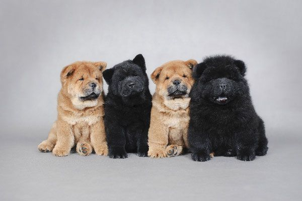 What determines which dogs are among the dumbest dog breeds? Chow Chows.