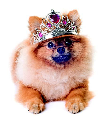 Pomeranian in crown